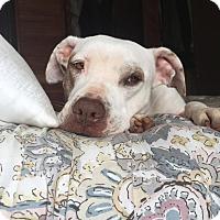 Adopt A Pet :: Snowy - San Ysidro, CA