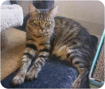 Domestic Mediumhair Cat for adoption in La Jolla, California - Lucky Boy