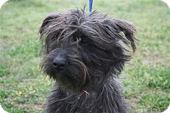 Scottie, Scottish Terrier Mix Dog for adoption in Manchester, Connecticut - Abby ADOPTION PENDING