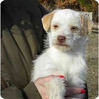 Adopt A Pet :: Tillamook Cheddar - PENDING - Braintree, MA