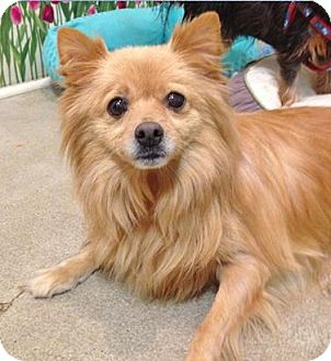 Pomeranian Dog for adoption in Irvine, California - Walter