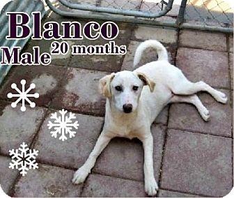 Labrador Retriever/Vizsla Mix Dog for adoption in Boaz, Alabama - Blanco