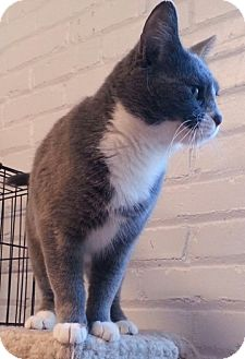Domestic Shorthair Cat for adoption in Statesville, North Carolina - Lacy