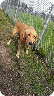 Labrador Retriever/Golden Retriever Mix Dog for adoption in Portland, Indiana - Titan