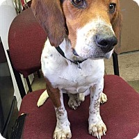 Adopt A Pet :: RALPH - Cadiz, OH