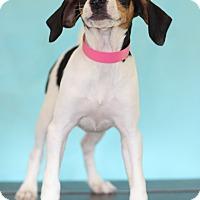 Adopt A Pet :: Gauge - Waldorf, MD