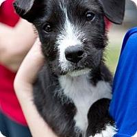 Adopt A Pet :: Steeler - Houston, TX