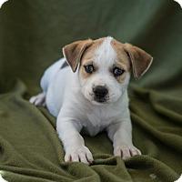 Adopt A Pet :: Girl Puppy #2 - Apache Junction, AZ