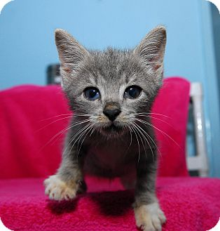 Domestic Shorthair Cat for adoption in New York, New York - Khal Drogo
