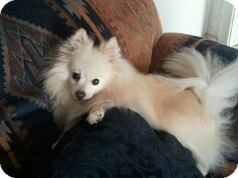 Pomeranian/American Eskimo Dog Mix Dog for adoption in Hesperus, Colorado - CASH