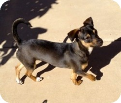Rat Terrier/Chihuahua Mix Dog for adoption in Mesa, Arizona - Channing