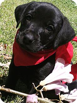 Labrador Retriever Mix Puppy for adoption in Somers, Connecticut - Max