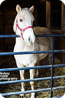 Palomino for adoption in Carey, Ohio - cheyenne