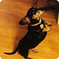 Adopt A Pet :: Lilly - Chewelah, WA