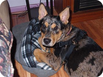 Australian Cattle Dog Mix Dog for adoption in Spring City, Tennessee - Nooka