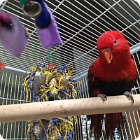 Lorikeet for adoption in Blairstown, New Jersey - Bounce - red hybrid