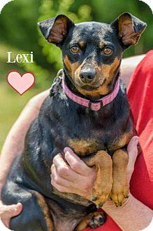 Miniature Pinscher Mix Dog for adoption in Chester, Connecticut - Lexi