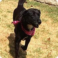 Labrador Retriever Mix Dog for adoption in Dallas, Texas - zzSidney