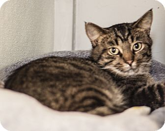 Domestic Shorthair Cat for adoption in Martinsville, Indiana - Forrest