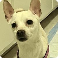 Adopt A Pet :: Gia Supermodel - Woodland Park, NJ