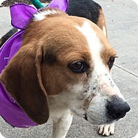 Adopt A Pet :: Beagle Boy-Special Needs - Olive Branch, MS