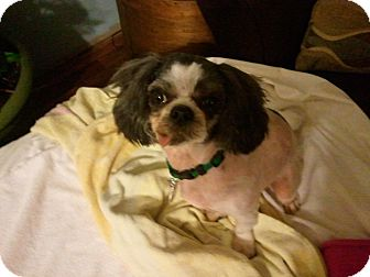 Shih Tzu Dog for adoption in Murfreesboro, Tennessee - Marbles