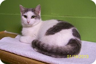 Domestic Shorthair Cat for adoption in Dover, Ohio - Jenny