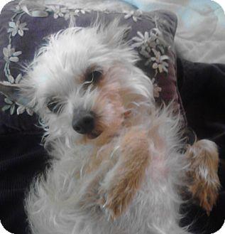 Chihuahua Mix Dog for adoption in Houston, Texas - Pelusa