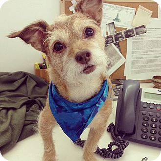 Cairn Terrier/Terrier (Unknown Type, Small) Mix Dog for adoption in Los Angeles, California - Frankie