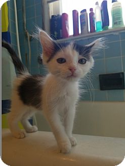 Domestic Mediumhair Kitten for adoption in Warren, Michigan - Oliver Queen