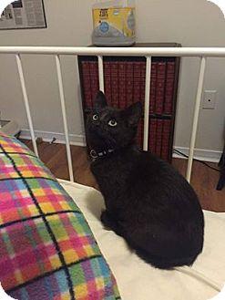 Domestic Shorthair Kitten for adoption in THORNHILL, Ontario - Snake