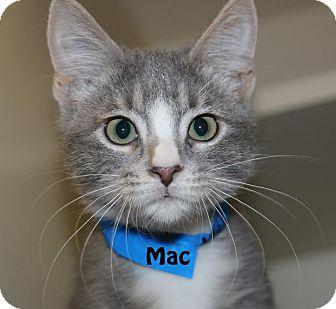 Domestic Mediumhair Kitten for adoption in Idaho Falls, Idaho - Mac