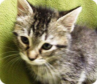 Domestic Shorthair Kitten for adoption in Watauga, Texas - Sam