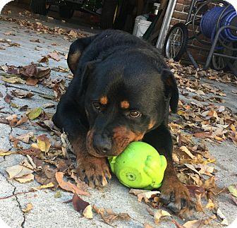 Rottweiler Mix Dog for adoption in Frederick, Pennsylvania - Sampson