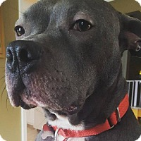 American Staffordshire Terrier Mix Dog for adoption in Livonia, Michigan - Larry