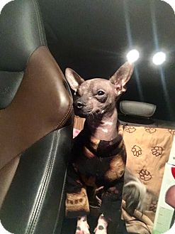 American Hairless Terrier Mix Dog for adoption in Sparks, Nevada - Bowie