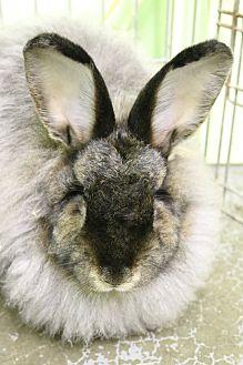 Angora, Satin Mix for adoption in Seattle c/o Kingston 98346/ Washington State, Washington - Chenille and Chino