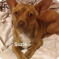 Adopt A Pet :: Suzie - Hopkinton, MA