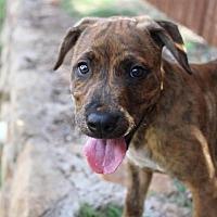 Adopt A Pet :: Noah - Flower Mound, TX