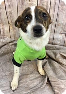 Chihuahua Mix Dog for adoption in Lake Elsinore, California - Peanut