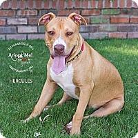 Adopt A Pet :: Hercules - Gilbert, AZ