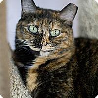 Domestic Shorthair Cat for adoption in Grayslake, Illinois - Sunday