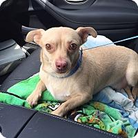 Adopt A Pet :: Romeo - Sherman Oaks, CA