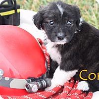 Adopt A Pet :: Corky - Austin, TX