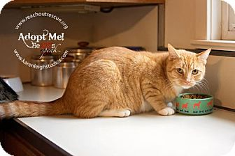Domestic Shorthair Cat for adoption in Westminster, Maryland - Bobby
