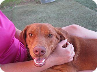 Vizsla/Rhodesian Ridgeback Mix Dog for adoption in Austin, Texas - Red
