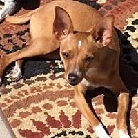Adopt A Pet :: Peyton - Mesa, AZ