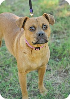 Pug Mix Dog for adoption in Colmar, Pennsylvania - Indi (Independence)
