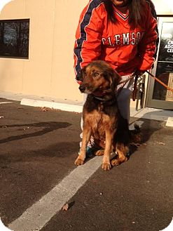 Shepherd (Unknown Type)/Labrador Retriever Mix Dog for adoption in Cashiers, North Carolina - Camila