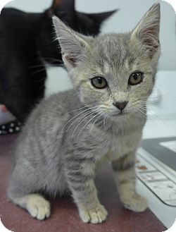 Domestic Shorthair Kitten for adoption in Manning, South Carolina - Smoke